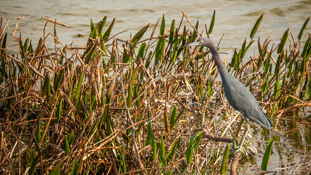 cypress-lake-golf-wildlife1